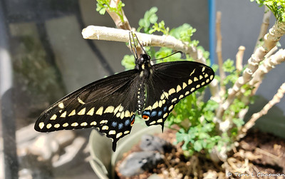 Raising Black Swallowtails