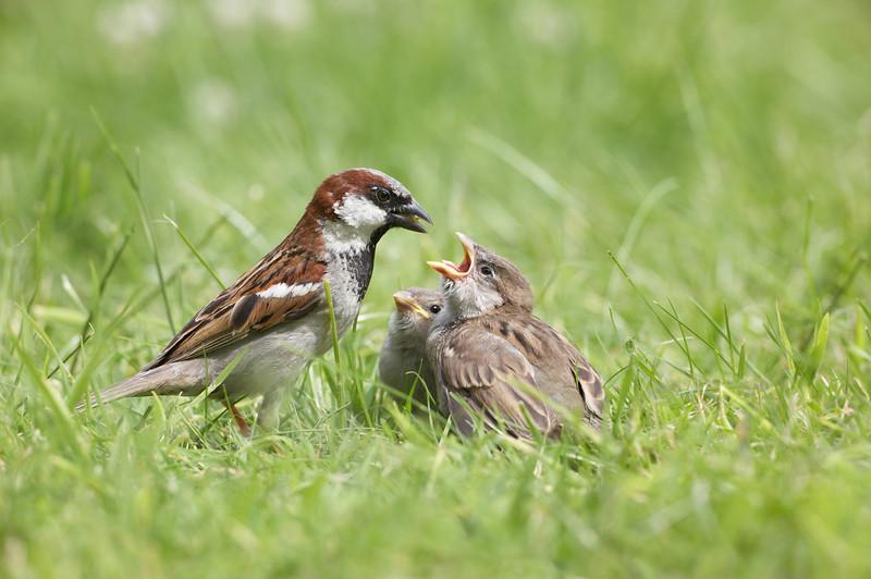 House Sparrow - 2945.jpg