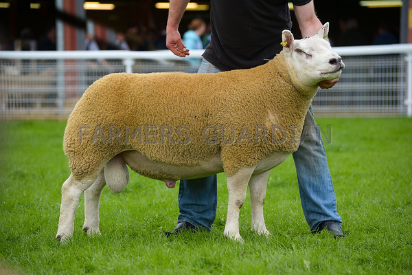 Builth Ram Sales Sept 2016