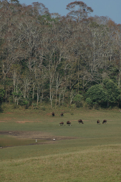 Bison grazing in the Periyar Wildlife Preserve