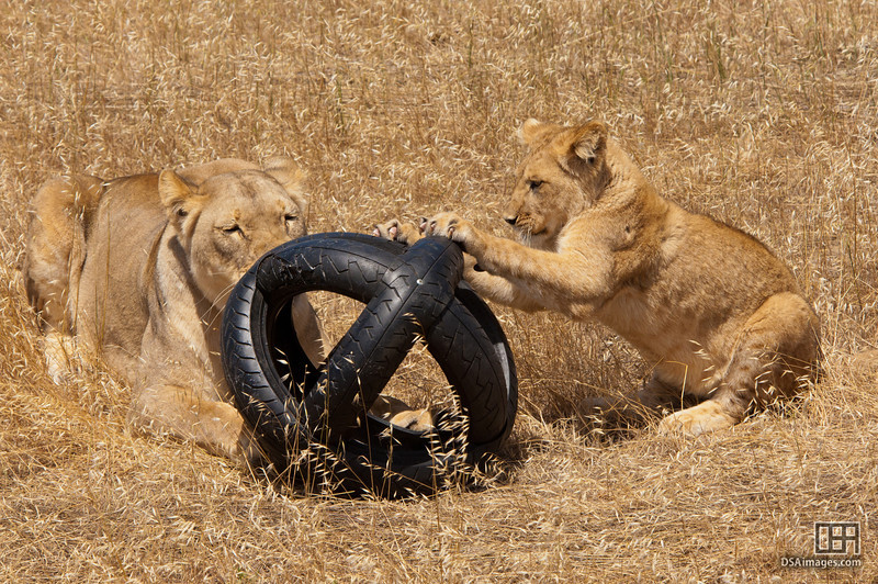 Cub and lioness with enrichment toy