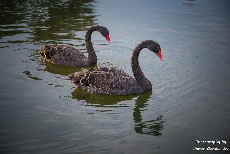 Black-Swans-2.jpg