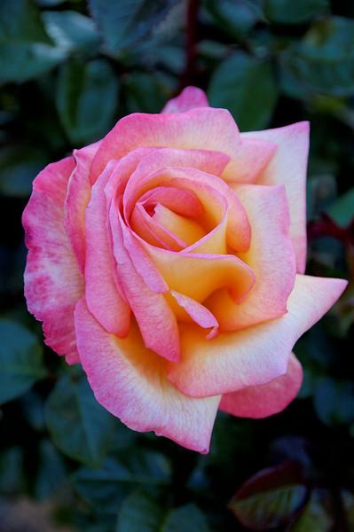 Balboa Park Rose (1).jpg