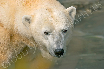 Polar Bear Wildlife Photography