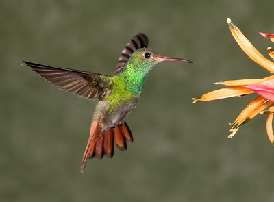 Costa Rica Hummers