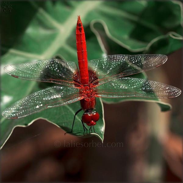 Red dragonfly resting on a leaf. Tamil Nadu - India. Libellule rouge immobile sur une feuille - Tamil Nadu - Inde.