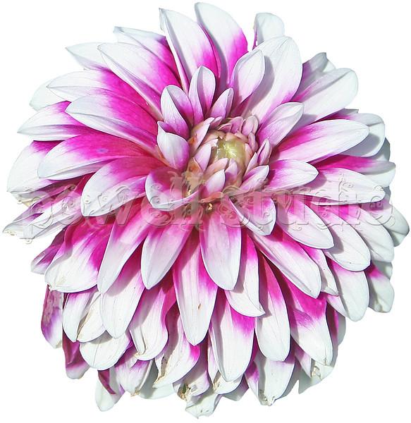 Pink Flower 2.jpg