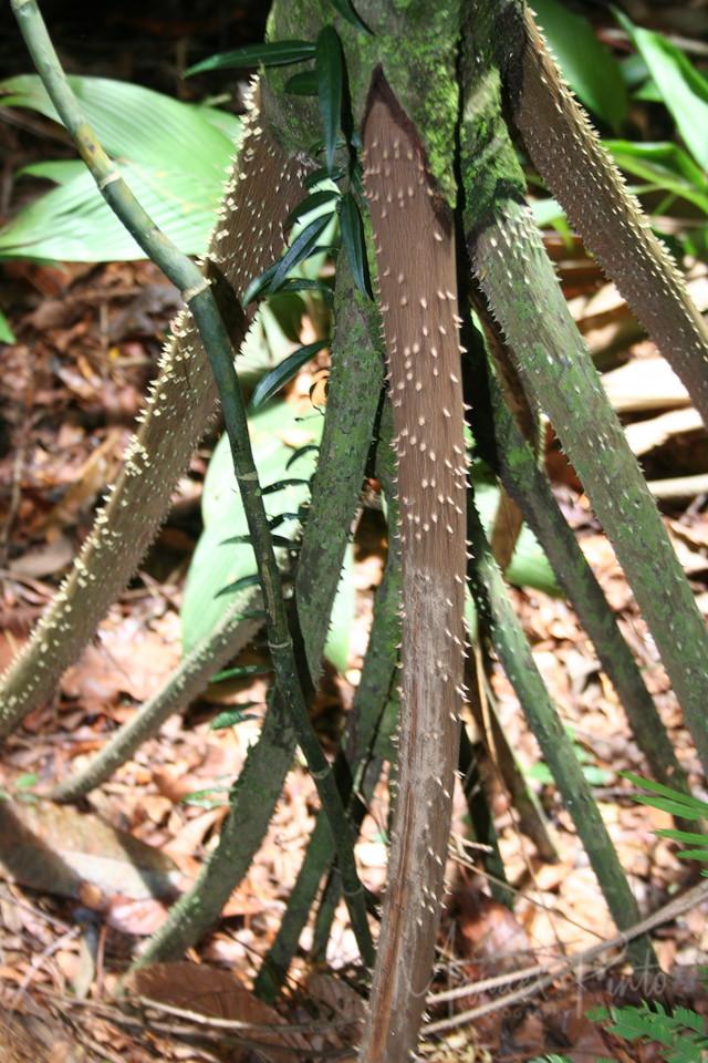 Walking Palm