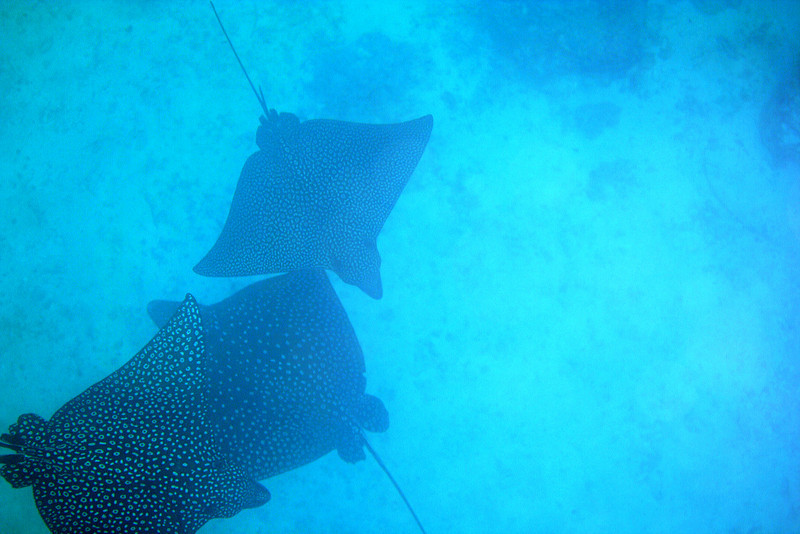 Spotted Eagle Rays 2.jpg