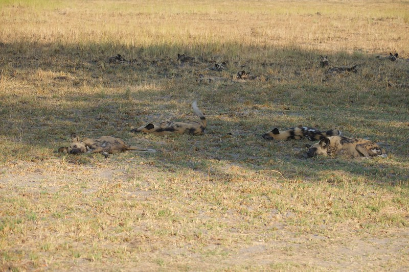 Wild dogs, Shinde camp, Botswana