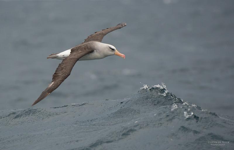 Campbell Albatross, Melasnistic, Wollongong Pelagic, NSW, Aus, Apr 2014-1.jpg