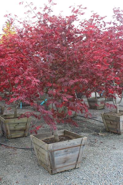 Acer japonicum 'Aconitifolium', Specimen 2.5'' #30 Box (2).JPG