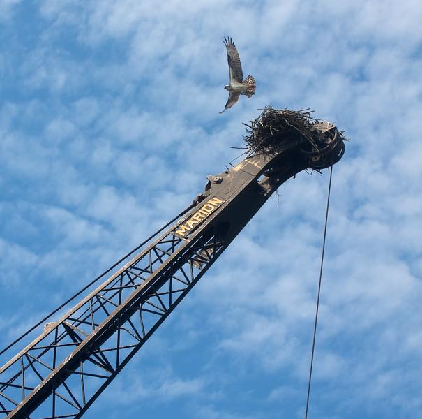 Osprey nest on crane Lavaque Rd just N of Martin Rd Duluth MN IMG_4504.jpg
