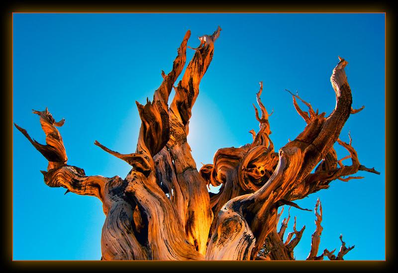 Bristlecone Glow.jpg