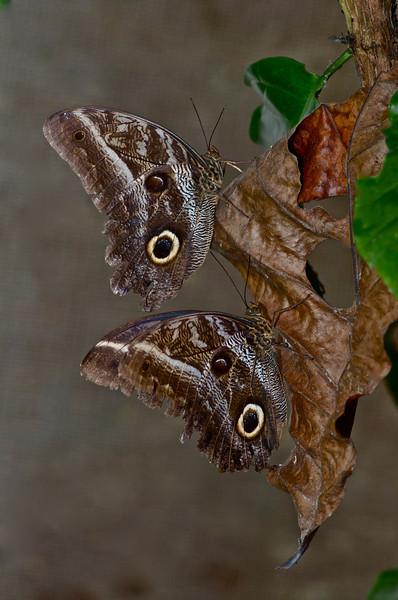 Pair of Owl Butterfies (Caligo sp.)