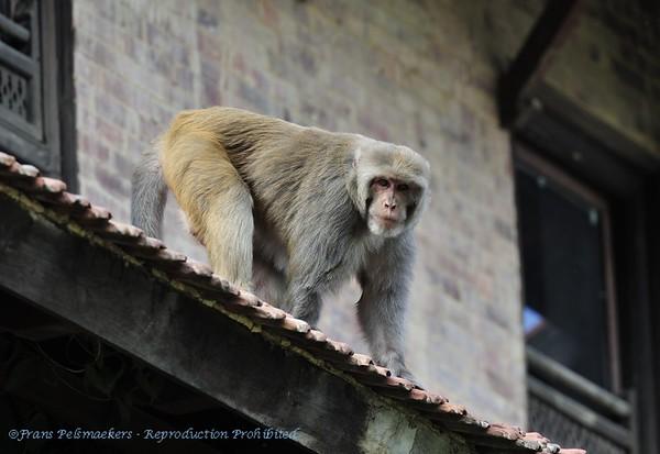 Resusaap; Rhesusaffe; Rhesus macaque; Macaca mulatta; Macaque rhésus