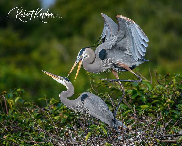 Great Blue Heron-9796.jpg
