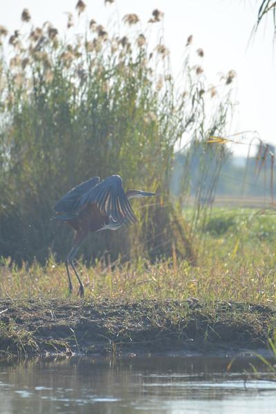 Goliath Heron, Okavango River Near Shakawe, Botswana