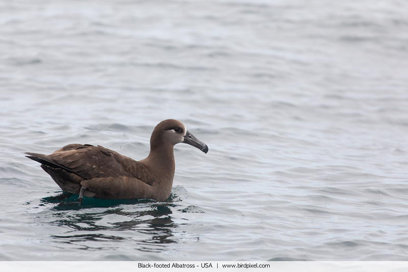 Black-footed Albatross - USA