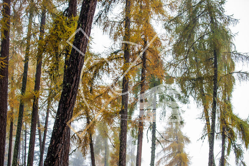 Colorful pine and larch forest in the Swiss Valais region during autumn on a misty morning