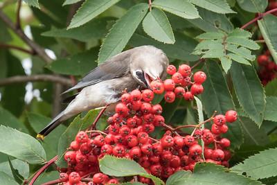 Sept. 24, 2017 - Cedar Waxwings and Berries