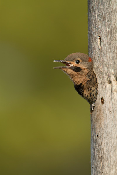 Northern Flicker nestling