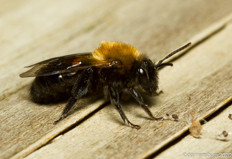 Miner bee, Andrena sp. (Andrenidae).