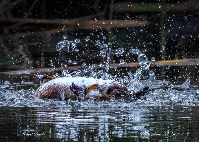 _DS02042Splash Wood Duck Upside Down.jpg
