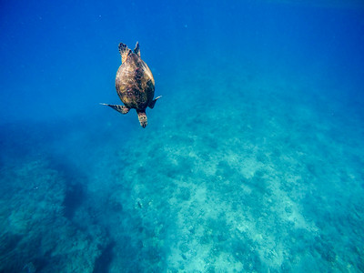 Honu - Hawaiian Green Sea Turtles