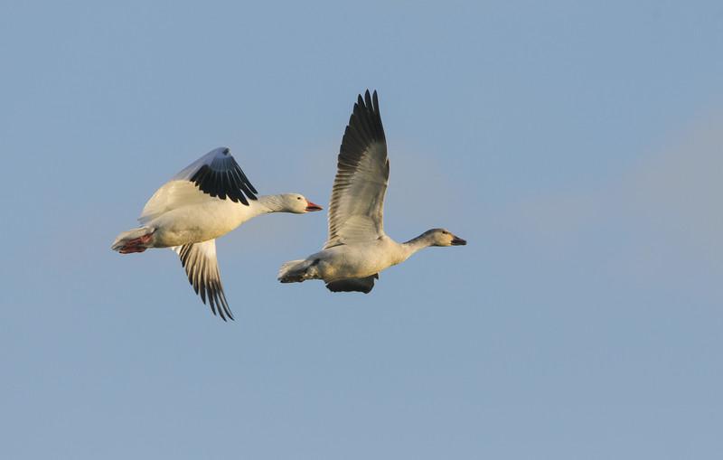 Snow Geese - In Flight