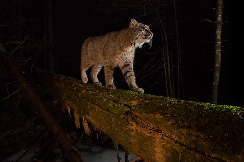 Bobcat up close-1002.jpg