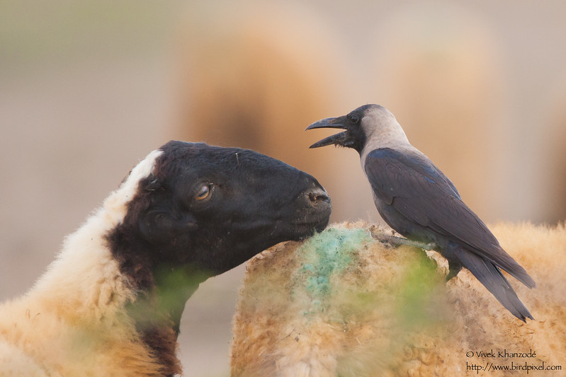 House Crow - Kutch, Gujrat, India