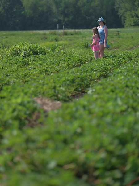 June 17, 2018 - Strawberry Picking for Fathers Day-210.jpg