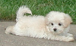Sample Pics of Maltepoo Puppies