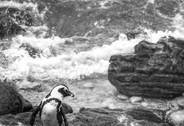 Stony Point Pingvin Collony