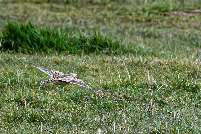 Skylark gliding