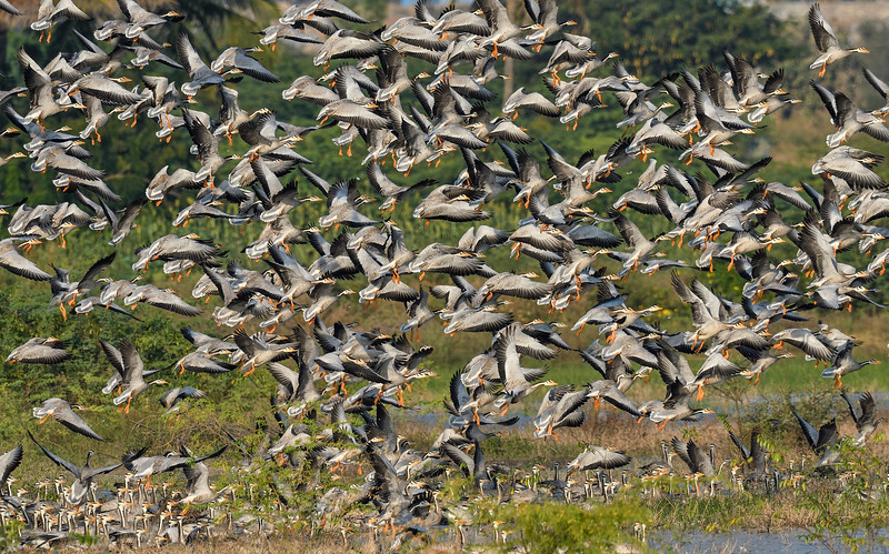 Bar-headed-geese-flock-takeoff-magadi-lake.jpg