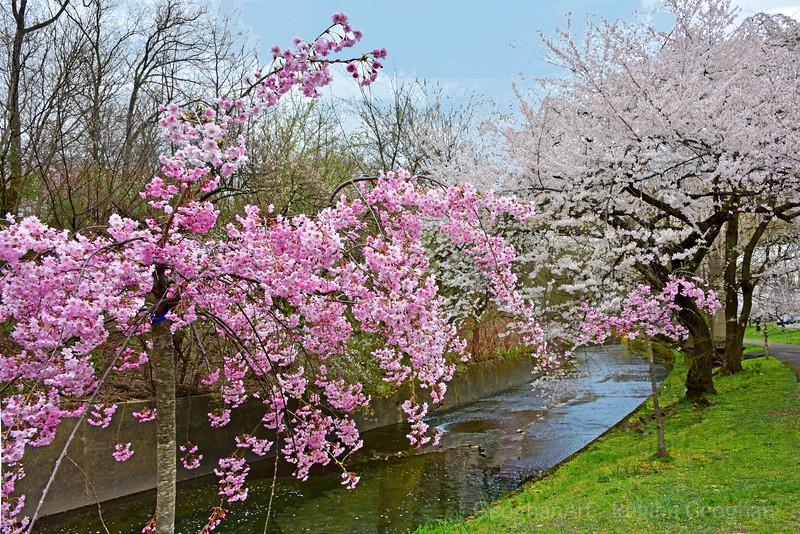 Cherry Blossom River Path