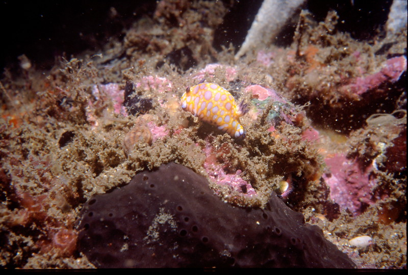 JPEG_Chromodoris_roboi_01.JPG