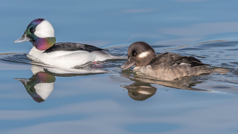 00 0047 Bufflehead Ducks (Bucephala albeola) 0010 16x9.jpg