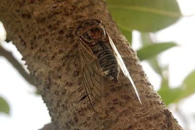 Arabian Cicada