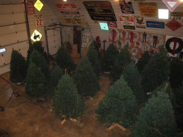 Trees in stands ready to be flocked