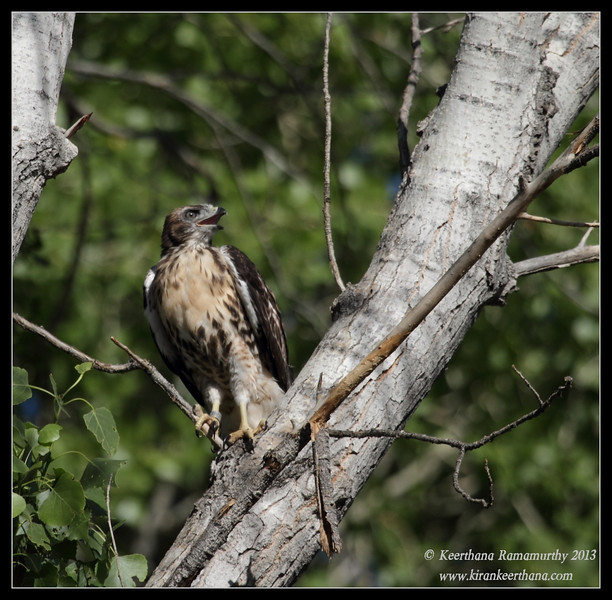 Red-tailed Hawk Juvenile, Covington Park, Morongo Valley, Riverside County, California, May 2013
