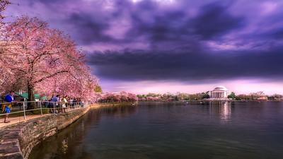 Cherry Blossoms - Tidal Basin - 2019