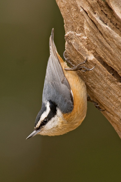 Nuthatch - Red-breasted - male - Dunning Lake, MN - 02