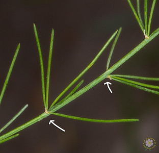 Asperges (Asparagus)