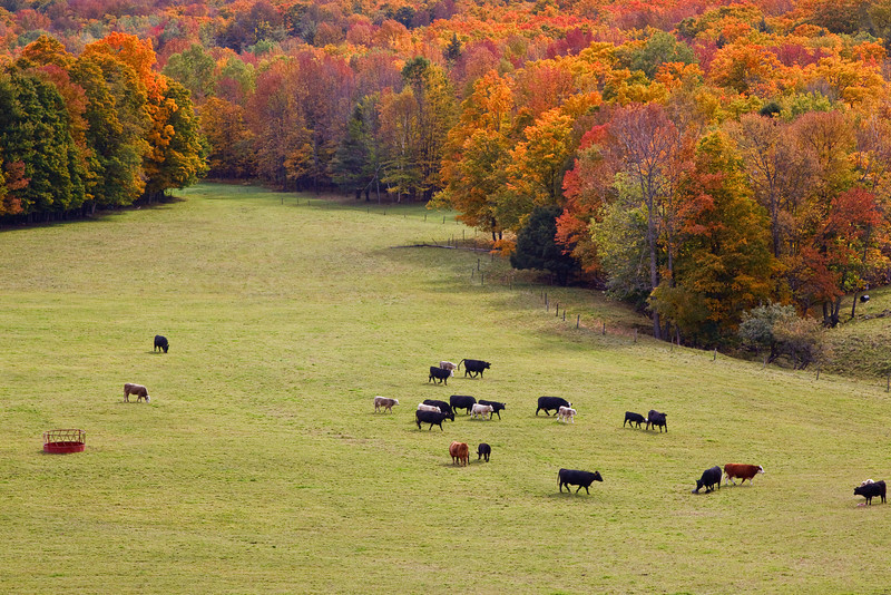Maple tress in the Fall provide a colorful background for farms near Pomfret