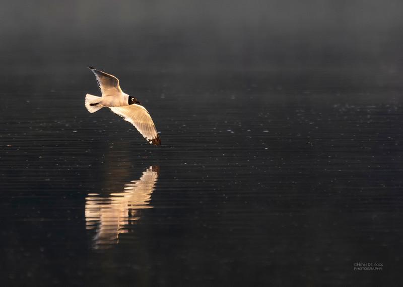 Franklin's Gull, Standing Bear Lake, NE, USA, May 2018-8.jpg
