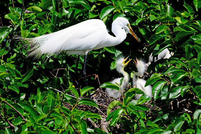 Great Egret Nest