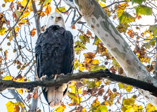 Bald Eagles at Conowingo  Dam 2